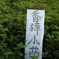 供应一年生香樟树苗