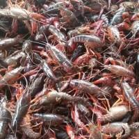 鲜活小龙虾出售 天然小龙虾批发