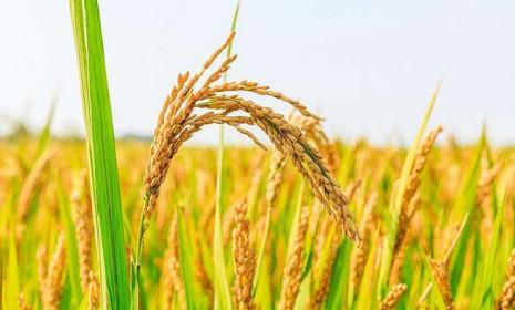研究揭示水稻miRNA和花粉发育的表观遗传调控机制
